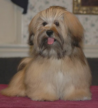 Grand Champion Joyslyns Heartbreaks - Lhasa Apso