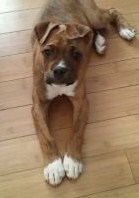photo of tiger - pit bull and boxer mix